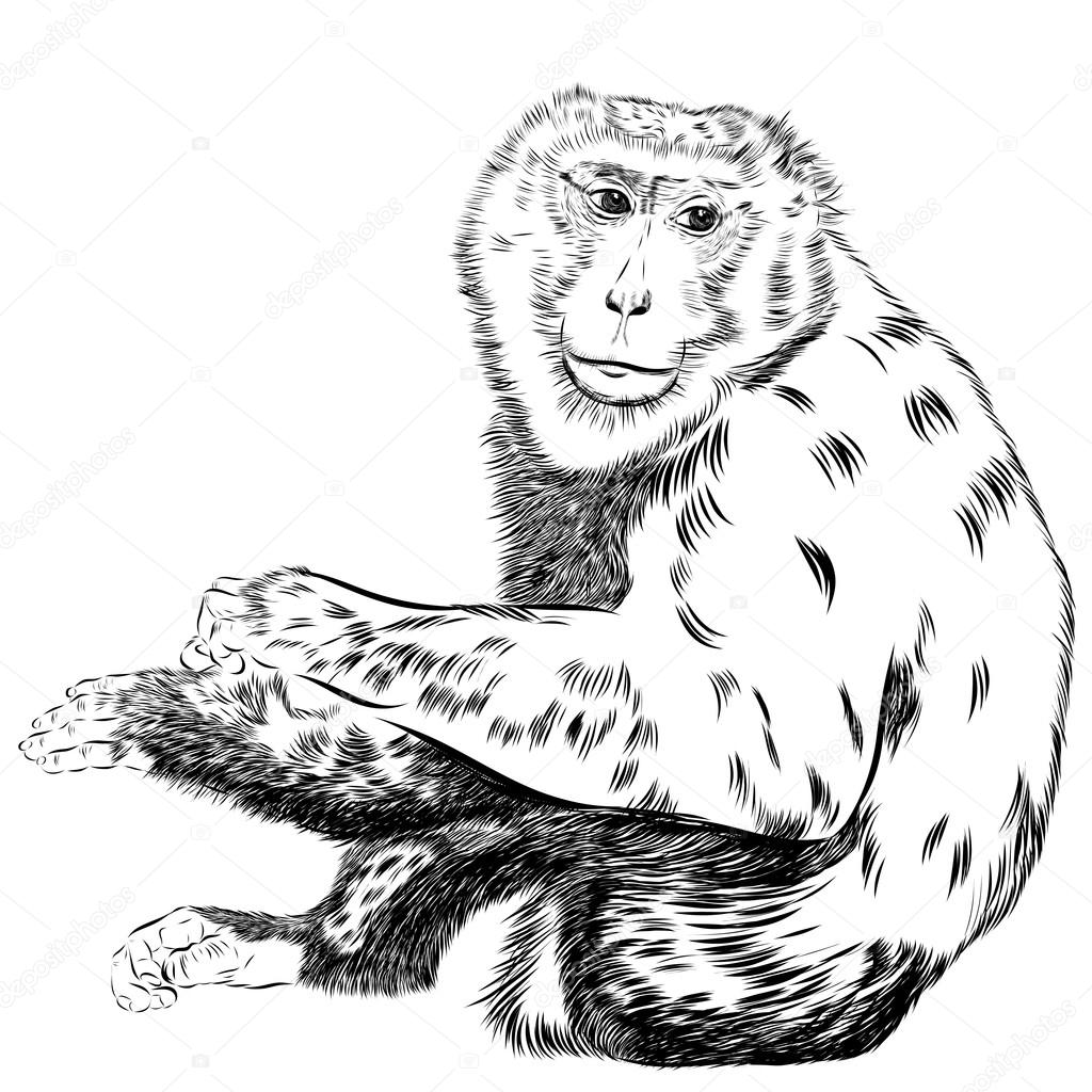 1024x1024 Chimpanzee Drawing Vector. Animal Artistic, Use For Your Design