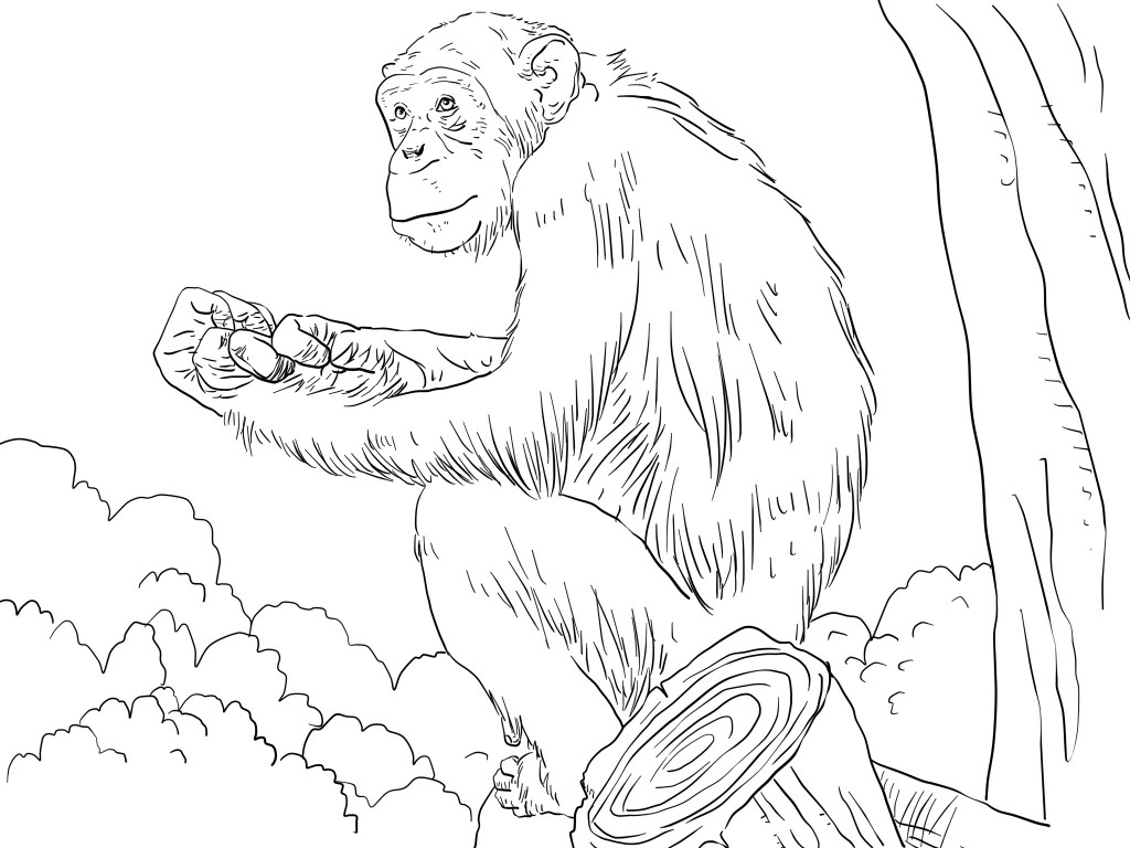 1024x768 Free Printable Chimpanzee Coloring Pages Animal Coloring Pages