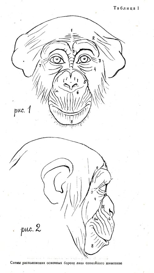 500x887 Chimp Frontside Facial View Resources