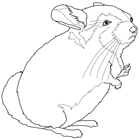 480x477 Chinchilla Coloring Page Free Printable Coloring Pages