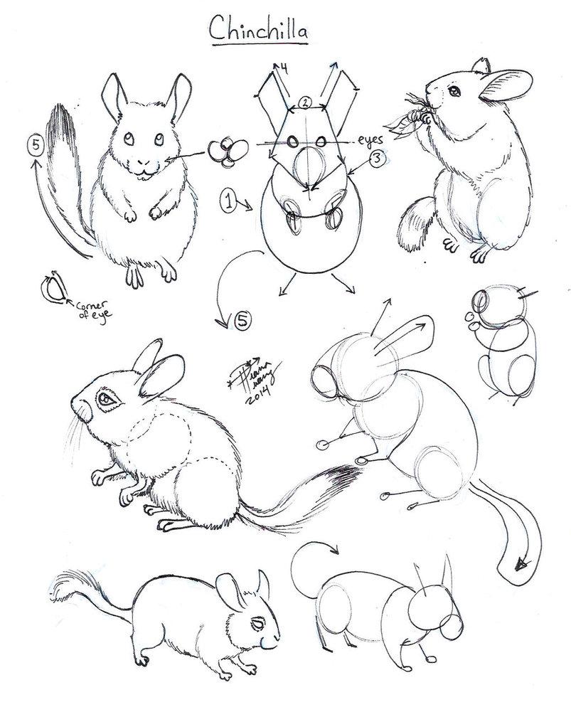 803x994 Draw Chinchilla By Diana Huang