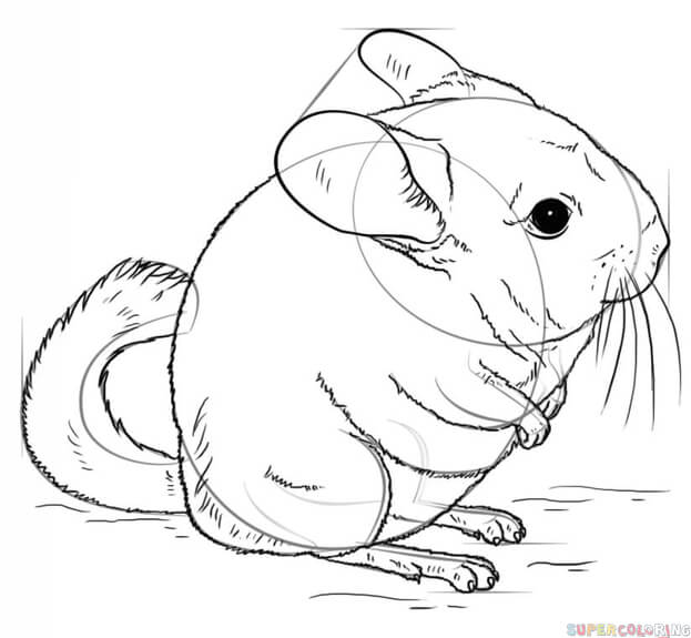 623x575 How To Draw A Chinchilla Step By Step Drawing Tutorials