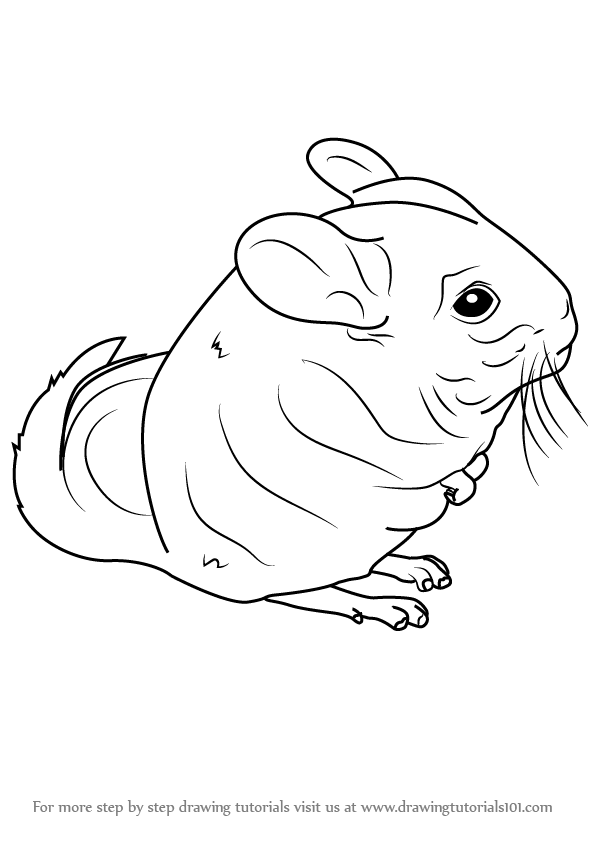 596x843 Learn How To Draw A Long Tailed Chinchilla (Rodents) Step By Step