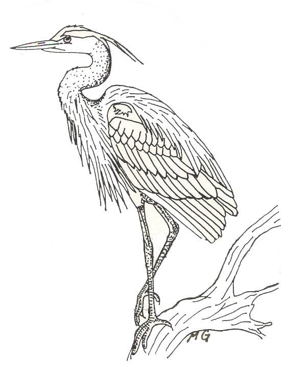 550x715 Blue Heron Drawing Blue Heron, Bird And Drawings