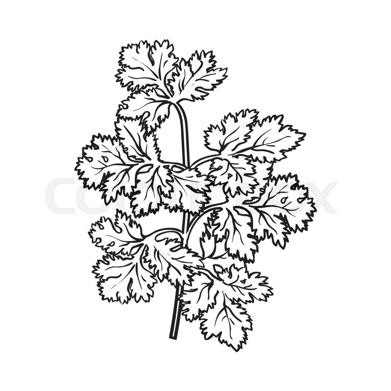 800x800 Coriander Herb, Cilantro, Chinese Parsley Leaves, Sketch Style