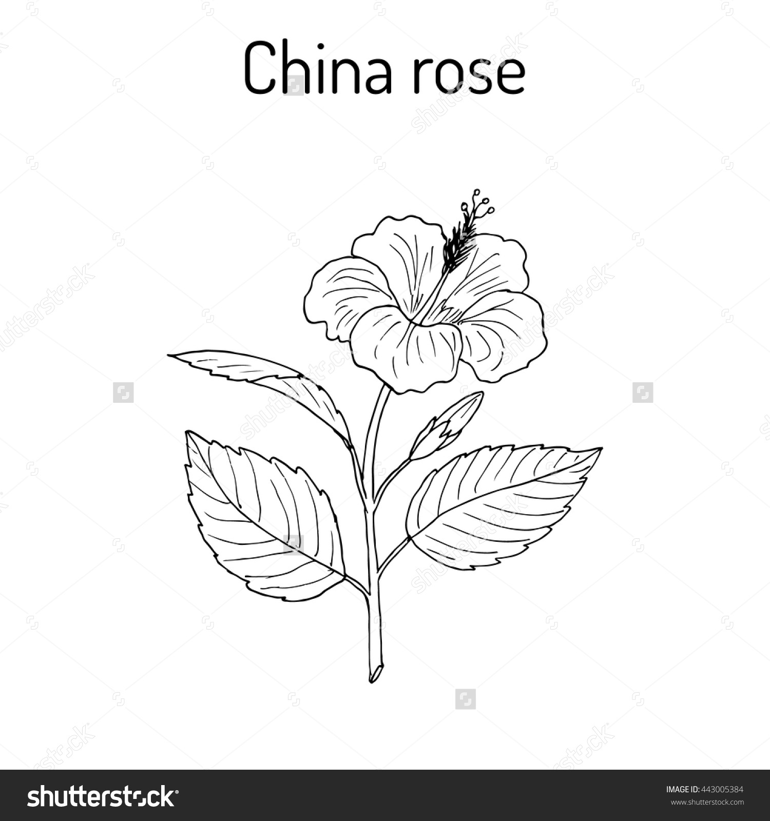 1500x1600 China Rose Clipart