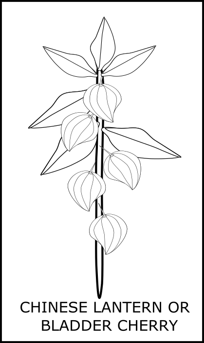 419x706 Lineartcolouring Chinese Lantern Or Bladder Cherry Plant Anino