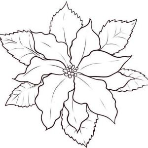 300x300 Image Result For Poinsettia Drawing Coloring