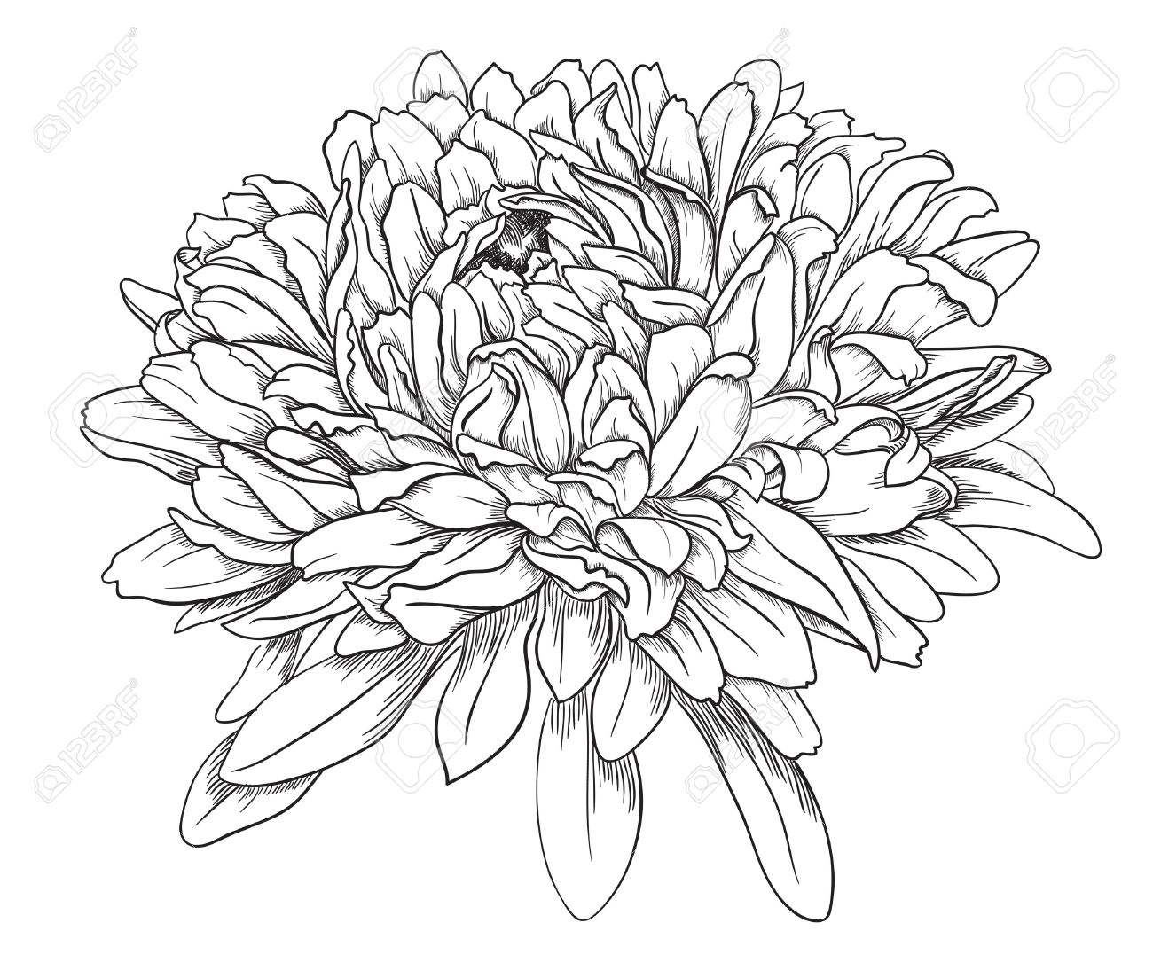 Chinese Flower Line Drawing : Chrysanthemum drawing at getdrawings free for