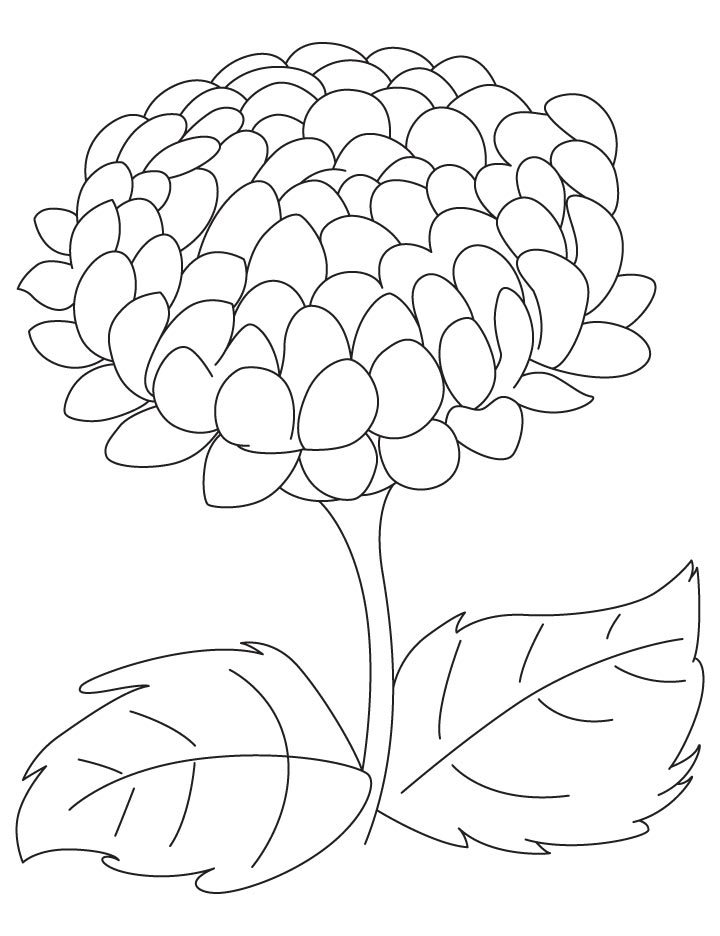Chrysanthemum Flower Drawing at