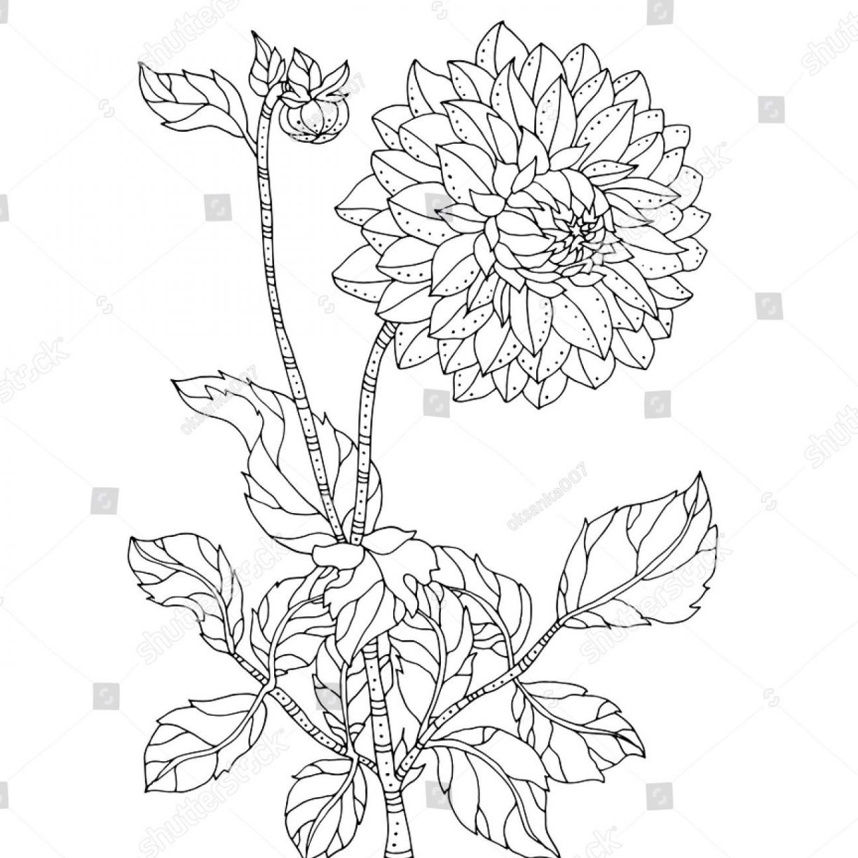 Chrysanthemums Drawing at GetDrawings