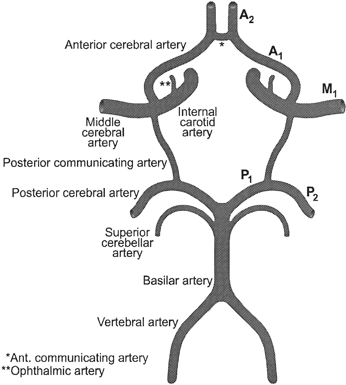 Circle Of Willis Drawing at GetDrawings.com | Free for personal use ...