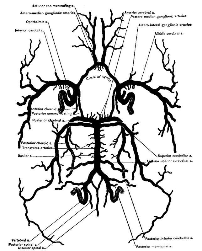 644x800 Figure 48. Circle Of Willis Henriette's Herbal Homepage