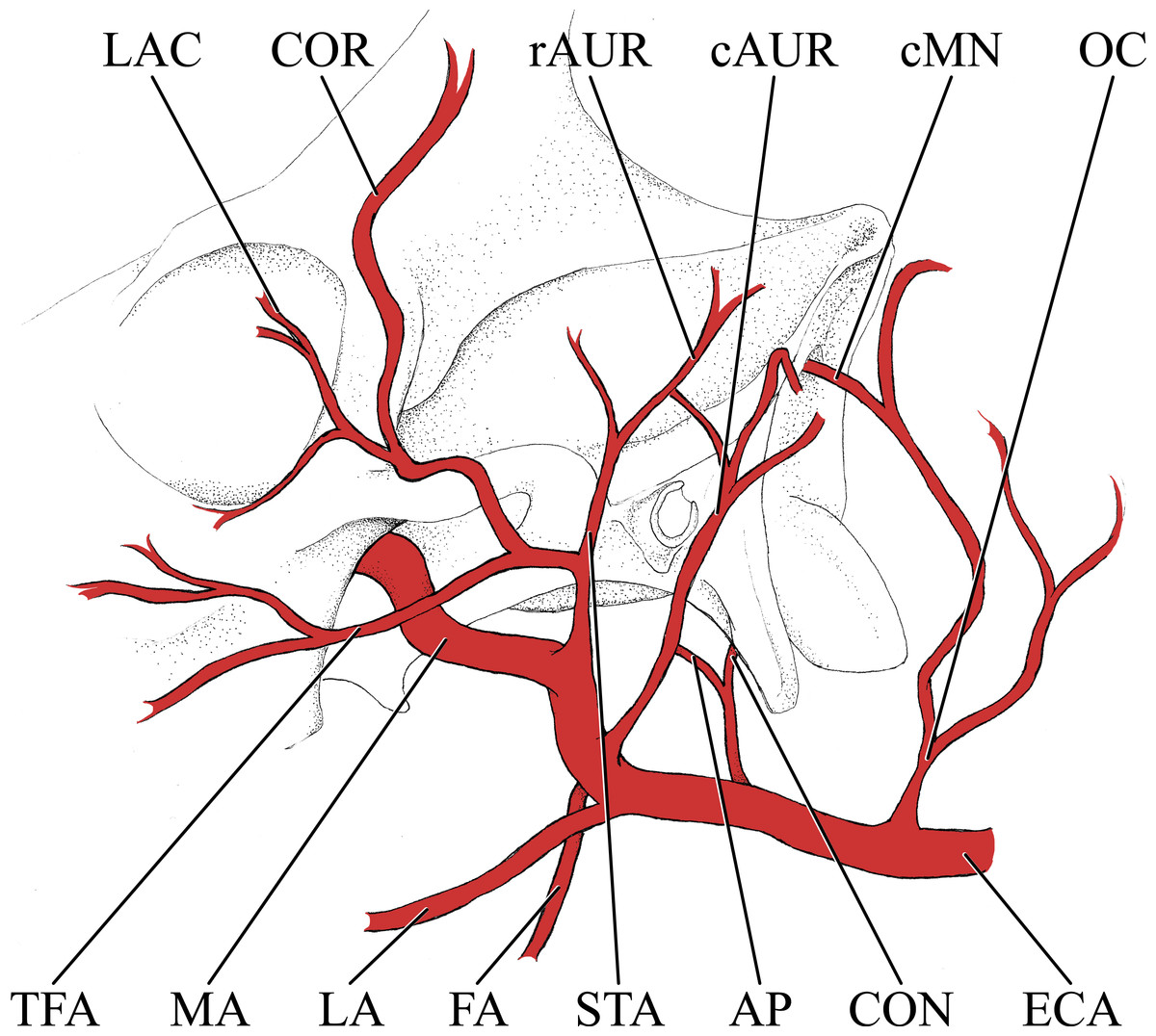 1200x1076 A Comparison Postnatal Arterial Patterns In A Growth Series