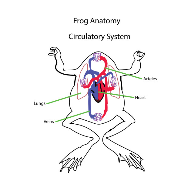 630x630 Frog Anatomy Circulatory System