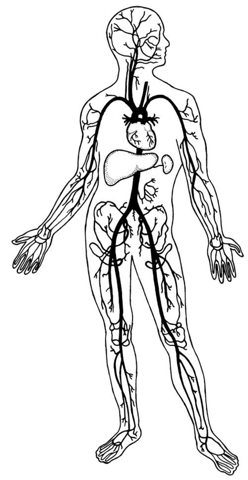 500x967 Circulatory System Clipart