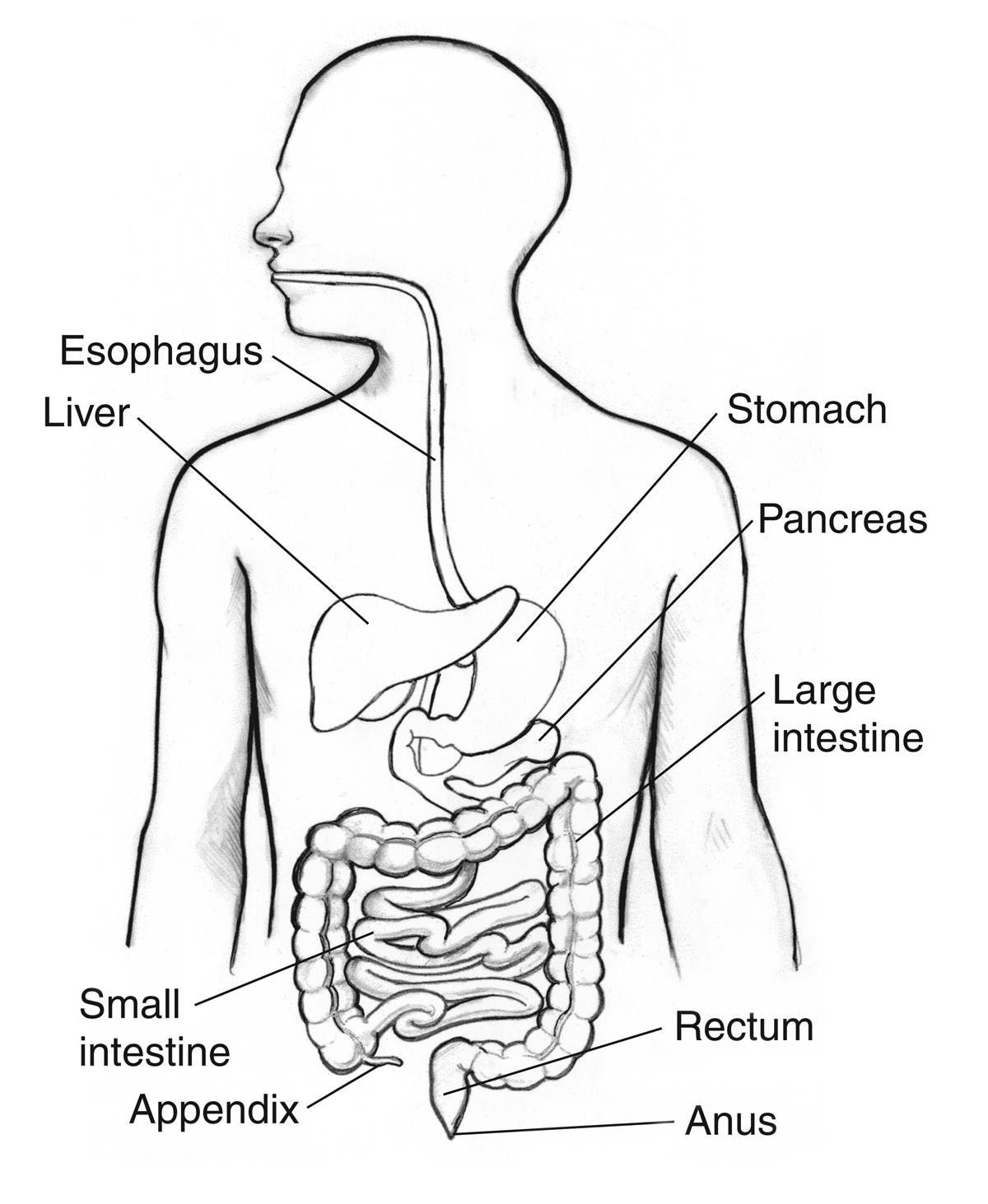 1200x1463 Human Digestive System Coloring Sheets Digestive System Diagram
