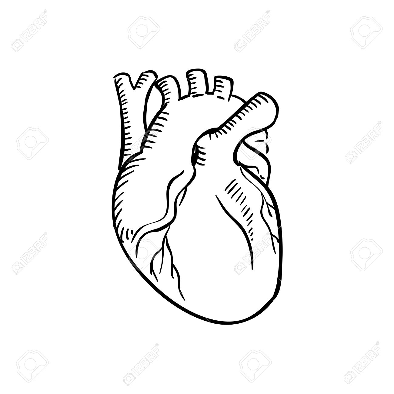 1300x1300 Human Heart Outline Sketch. Isolated Anatomical Detailed Organ