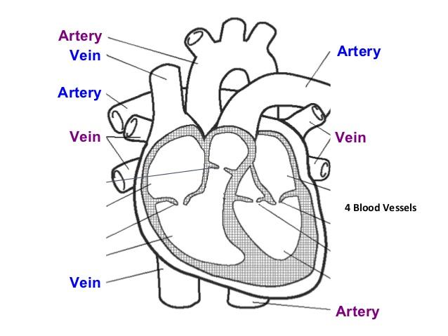 Circulatory System Drawing At Getdrawings Com