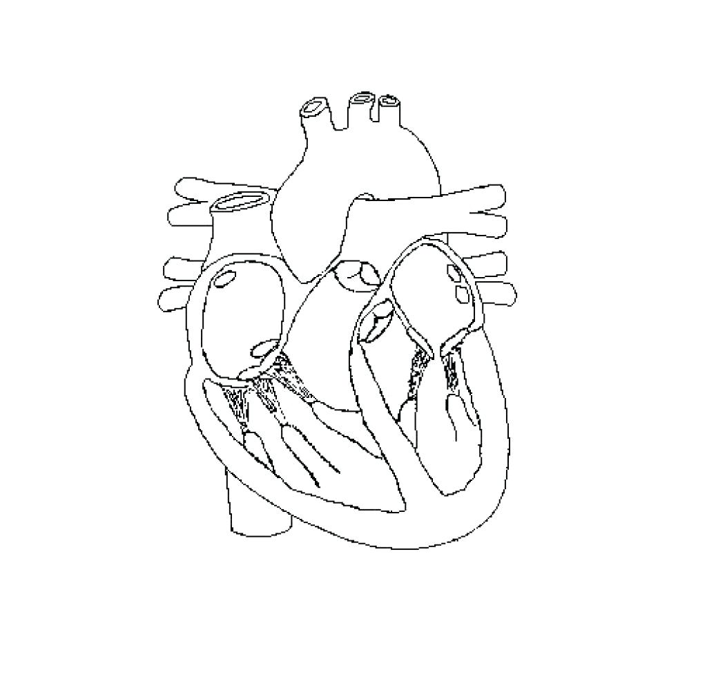 1024x977 Diagram Circulatory System Heart Diagram Unlabeled
