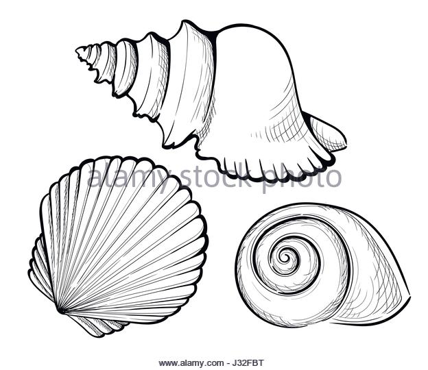 624x540 Drawing Of Clam Shell Stock Photos Amp Drawing Of Clam Shell Stock