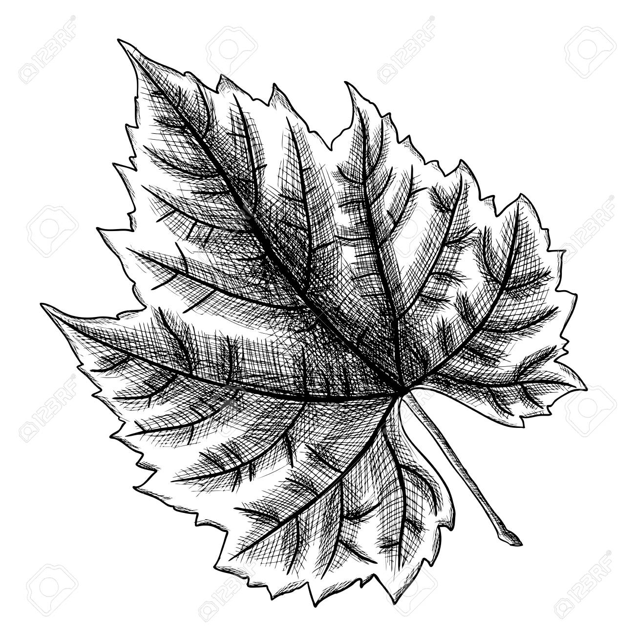 1300x1300 Detailed And Precisek Drawing Of Grape Leaf. Hand Drawn