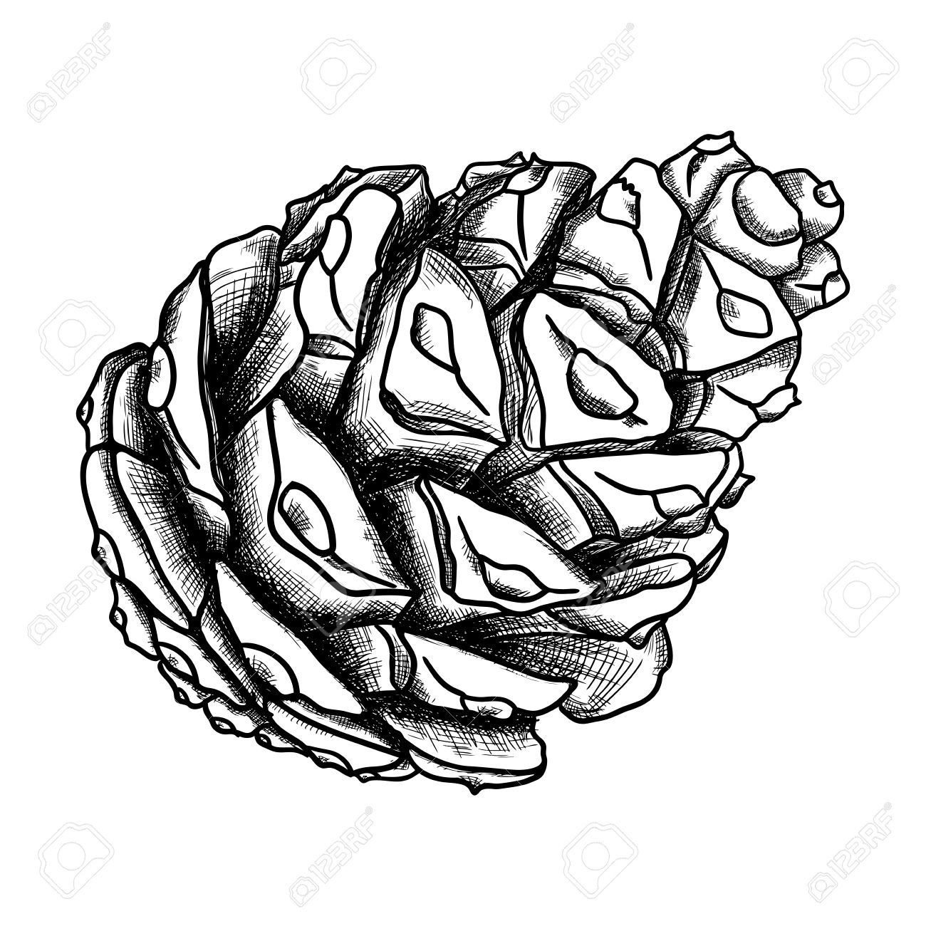 1300x1300 Hand Drawing Pine Cone. Pinecone Drawing. Decoration Of Greeting