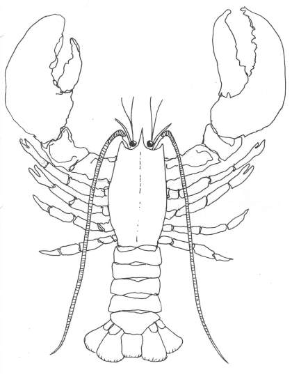 420x541 How To Draw A Lobster Lobsters Will Regenerate A Claw If It Is
