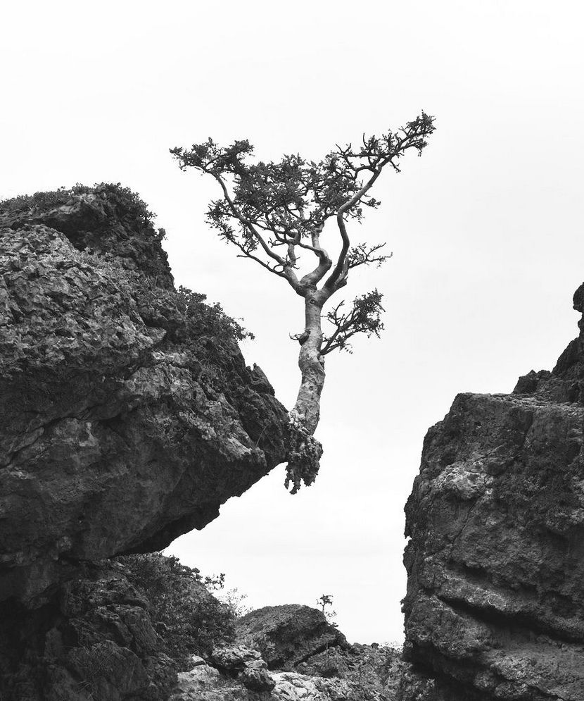 830x995 Desert Tree Grows Through Crack In Rock On Edge Of Cliff. Black