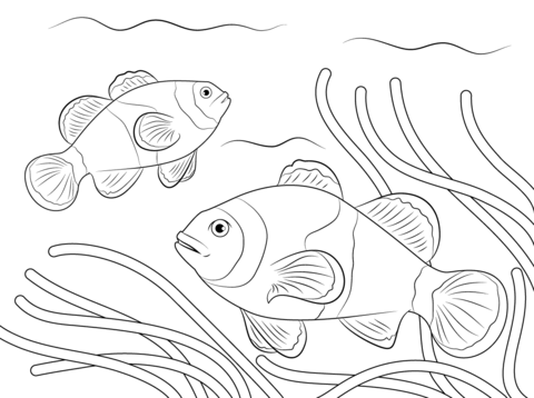 480x358 Ocellaris Clownfish Coloring Page Free Printable Coloring Pages
