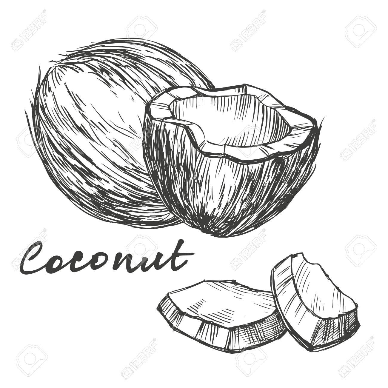 1300x1300 Coconut Set Hand Drawn Vector Illustration Realistic Sketch