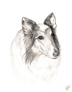 236x300 Collie Drawings