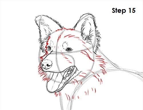 500x386 How To Draw A Border Collie