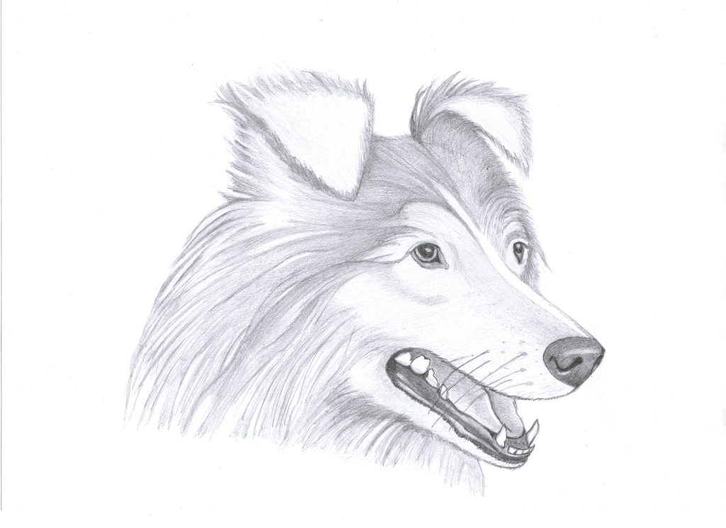 1024x744 A Haski Or Collie By Oswin Drawings