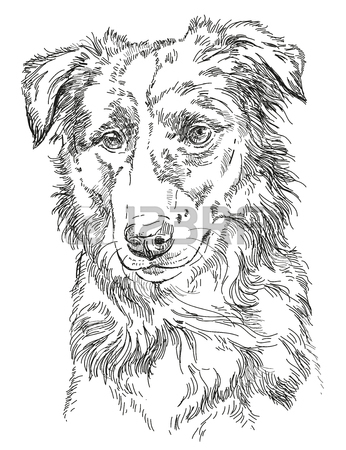 346x450 Border Collie Vector Hand Drawing Illustration In Different Color