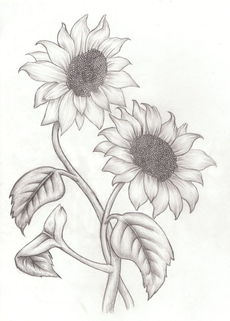 736x1027 Drawn Sunflower Charcoal Drawing