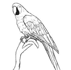 236x230 Parrots Coloring Sheet Outline, Parrot Drawing Outline. Coloring