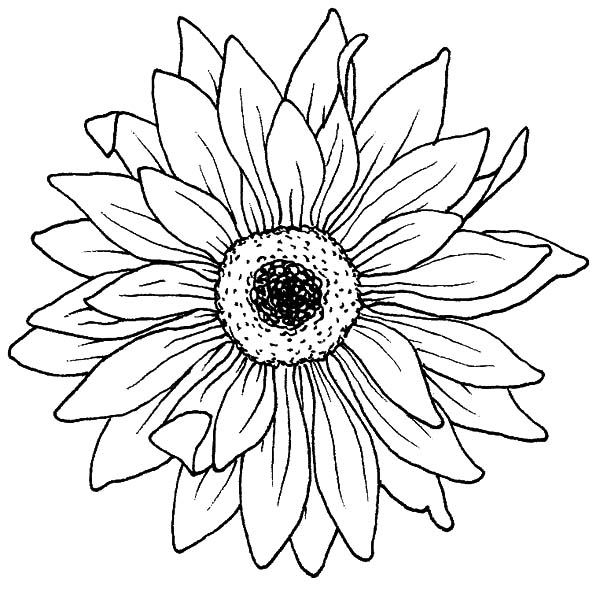600x589 Drawing Blooming Aster Flower Coloring Pages Bulk Color