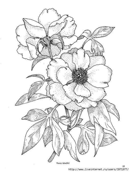 532x699 Wild Rose Drawing