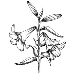 300x300 Easter Lily Drawing How To Draw A Lily Tlc Howstuffworks Com