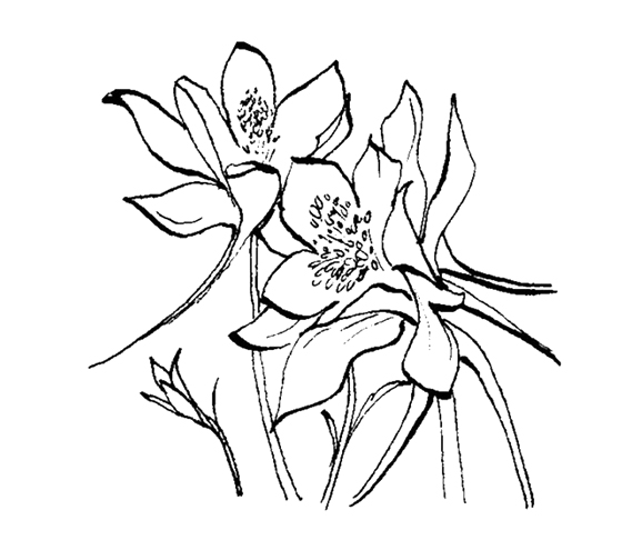 578x495 Gallery For Gt Columbine Flower Line Drawing Amaryllis Study