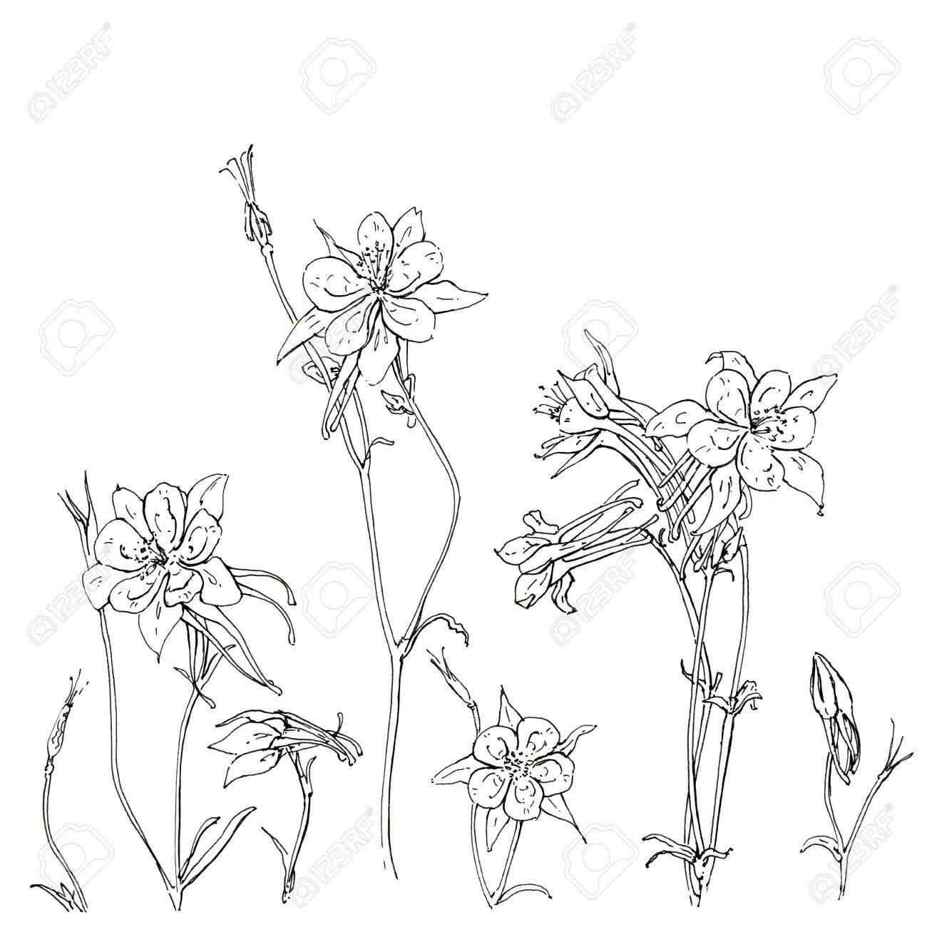 1300x1300 Hand Drawn Graphic Flower Aquilegia Columbine On White Background