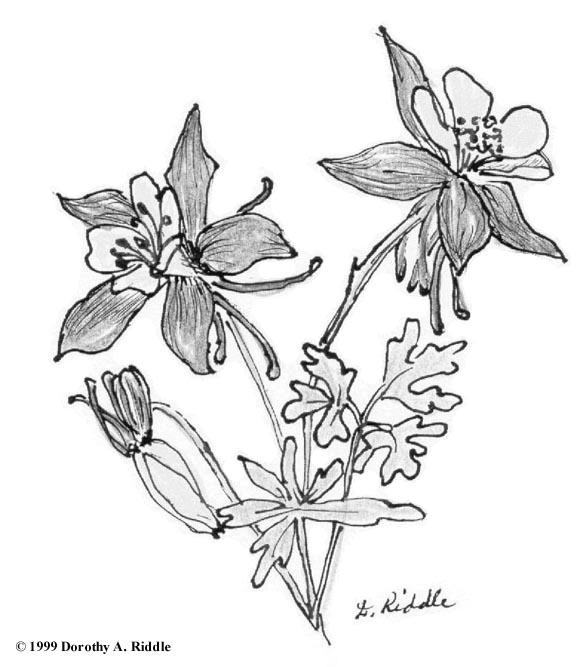 580x667 Columbine Flower Sketch