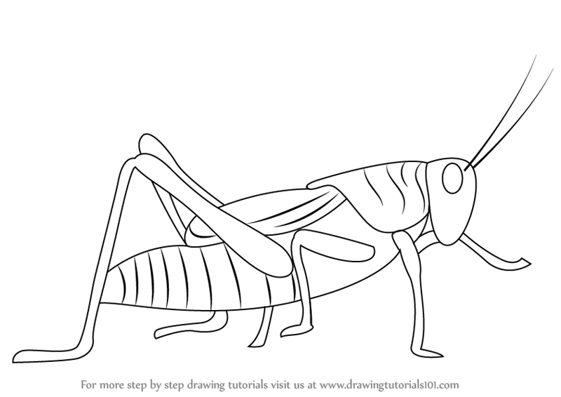 800x566 Learn How To Draw A Grasshopper (Insects) Step By Step Drawing