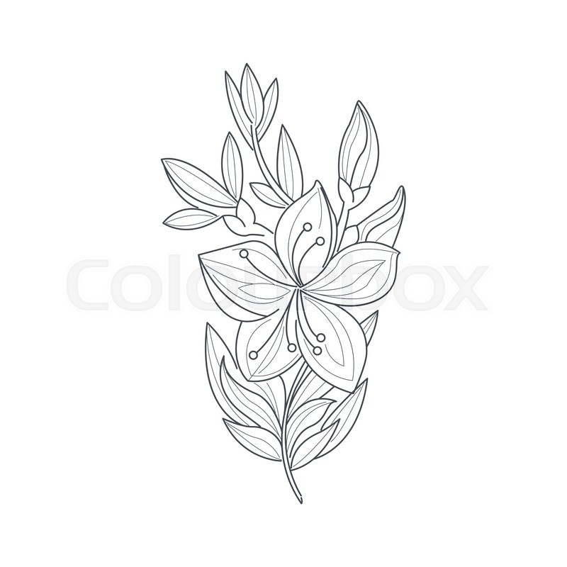 800x800 Jasmine Flower Monochrome Drawing For Coloring Book Hand Drawn