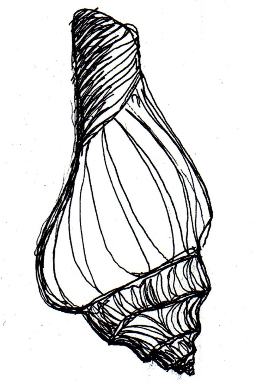 Conch Drawing At Getdrawings Com Free For Personal Use