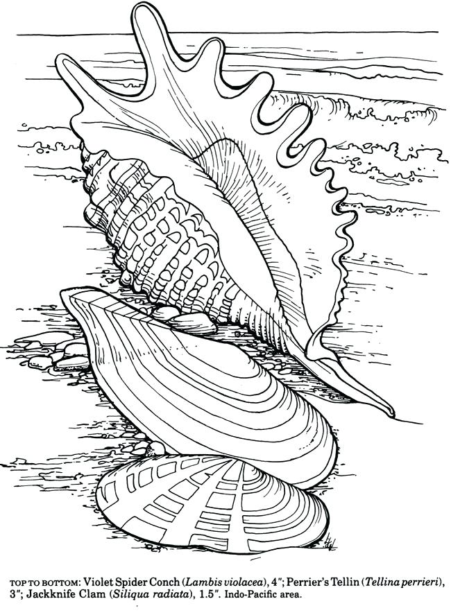 650x887 Sea Shell Coloring Page Decorative Sea Shell Outline Drawing