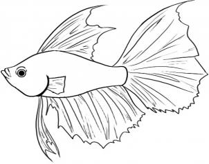 302x238 How To Draw A Betta Fish Step 4