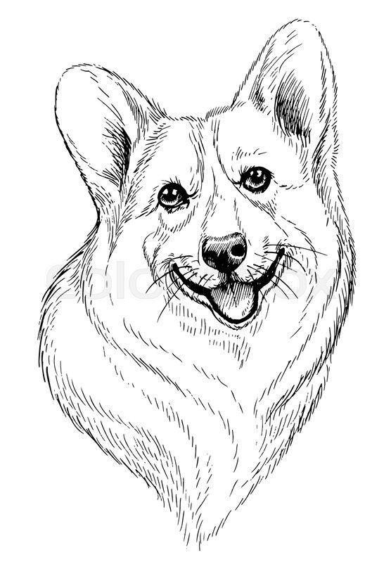 556x799 Vector Hand Drawn Sketch Portrait Of Welsh Corgi Pembroke Hand