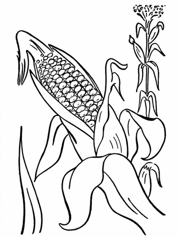 600x790 Corn Cob From Mature Plant Coloring Page Sun